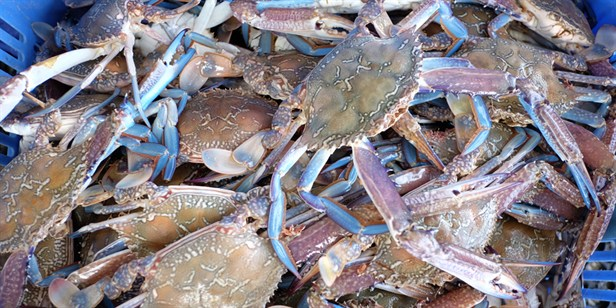 Info on the Blue Swimmer Crab